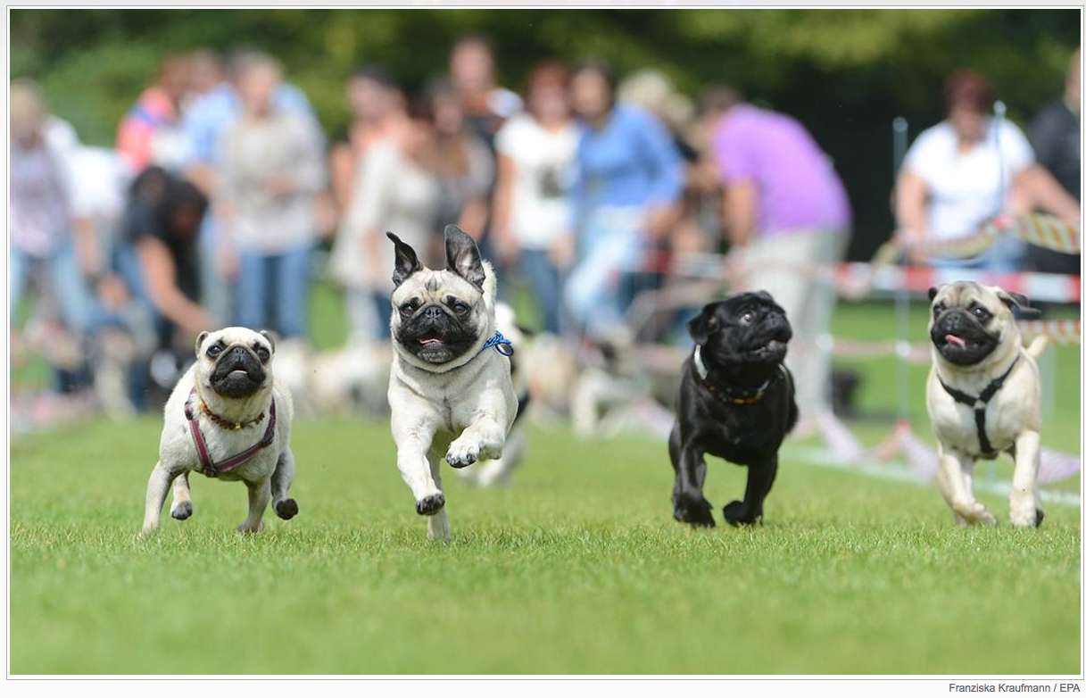 Gotta Love a pug race!