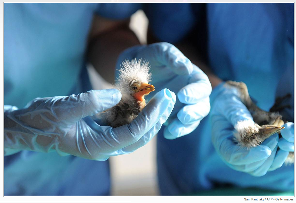 I had never heard of a cattle egret until these were rescued.