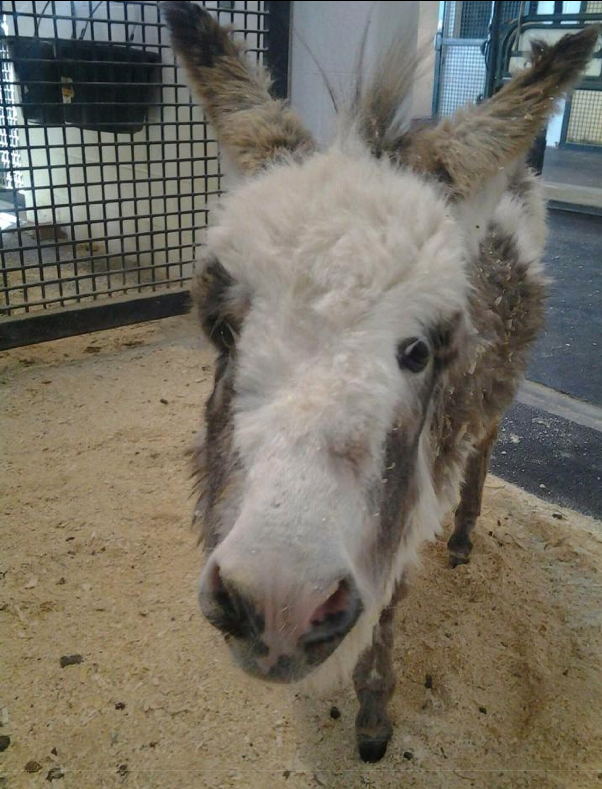 I'm  hoping for new photos soon!  A mold was taken of her leg...  Bella is our February Bucket Fund Foal!  Click image to read her story!