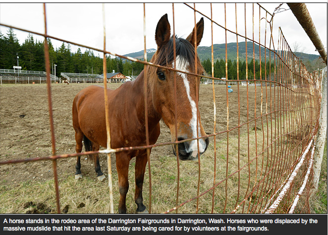 One of the horses who survived the mudslide and is now displaced and temporarily housed at the local Fairgrounds.