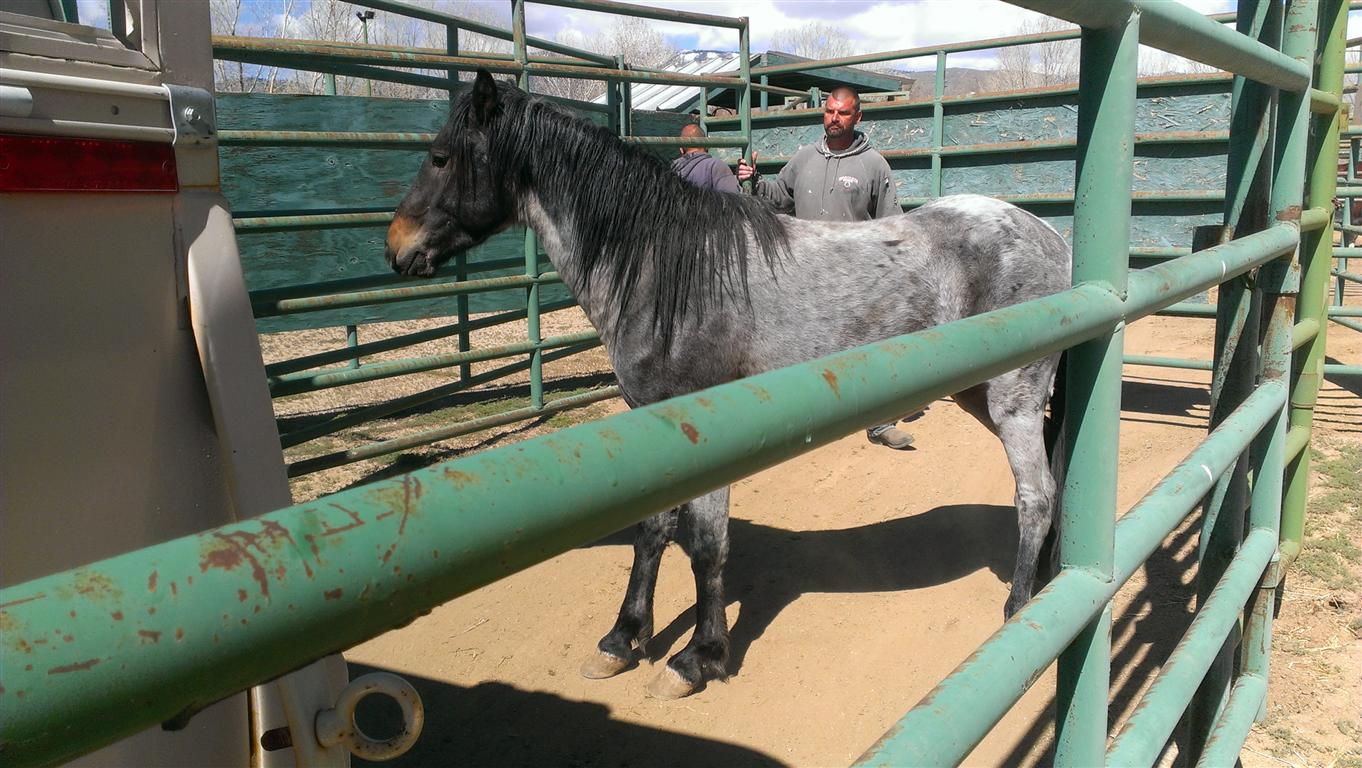 This is Buckaroo who was adopted by a Mustang Savvy Steamboat Valley resident.