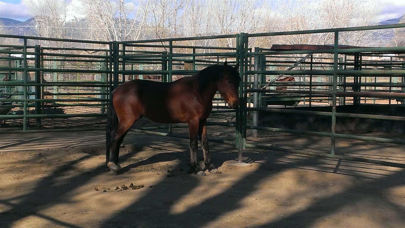 This is Cowboy - the lone (ex) stallion who was found running with cattle.  He's pictured  here in prison.