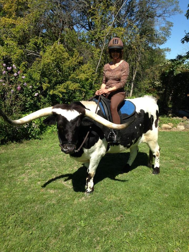 A Longhorn in a Dressage Saddle!