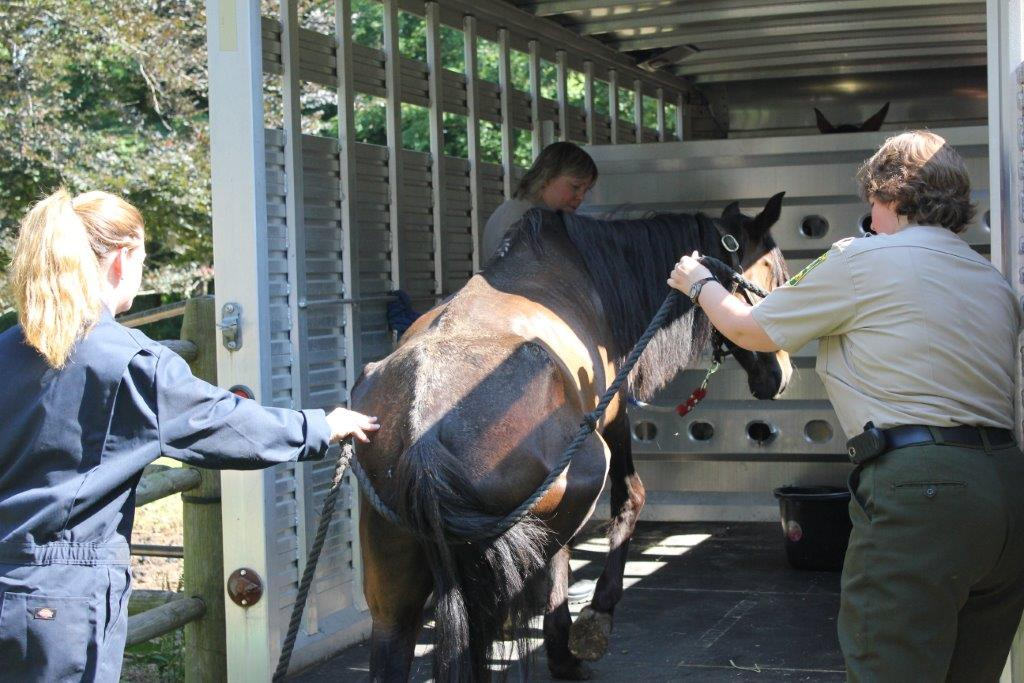 The mares were very, very weak - especially on the hind end.  They wanted to get out of there but had difficulty loading.  The officers had to use ropes to help the girls into the trailer.  So sad.