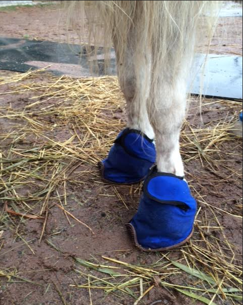 This is the reader's mini horse wearing his Equine Slippers with the Walgreens ice packs inside - on top of the top of the hoof and coronet band.  He can still walk around and his owner doesn't have to tie him up or watch over him for the 1-2 hours that he wore these!