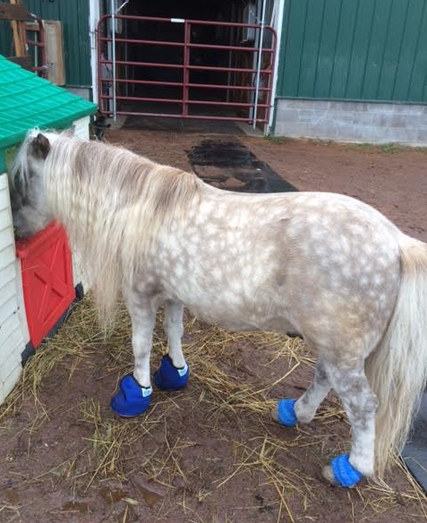This is the reader's mini who had laminitis.  Her vet told her to ice both the front feet to ease the heat and digital pulses.   She used Equine Slippers and little ice packs.  Brilliant!