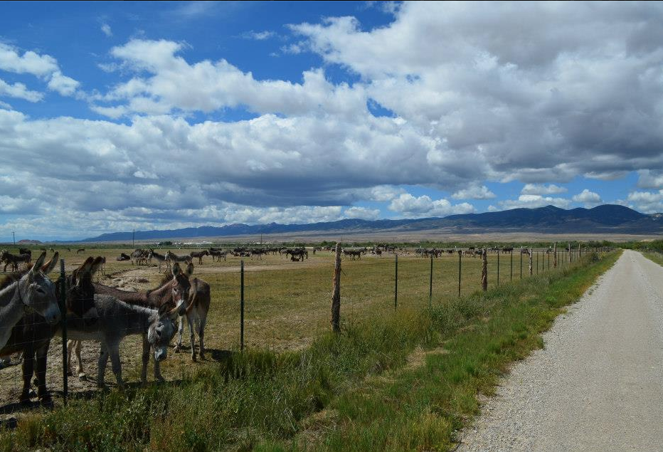 Here they are on the grounds of the BLM feedlot in Utah.  No shelter as winter approaches.   These donks await their fate - will they be sent to Guatemala?  Not if we can  help it!