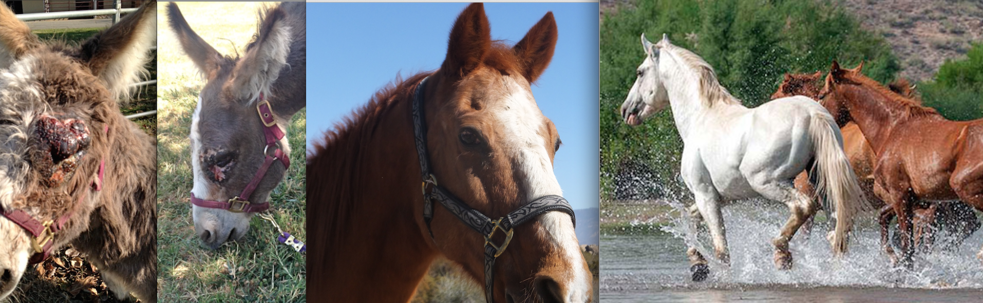 Our December Bucket Fund Horses!  Cinny the Ancient and Charming Gelding, Lila - the mini donk who survived sarcoid and the H&M Re-Wilding Program.  Click here to read all about these horses!   Gift donation Certificates available!
