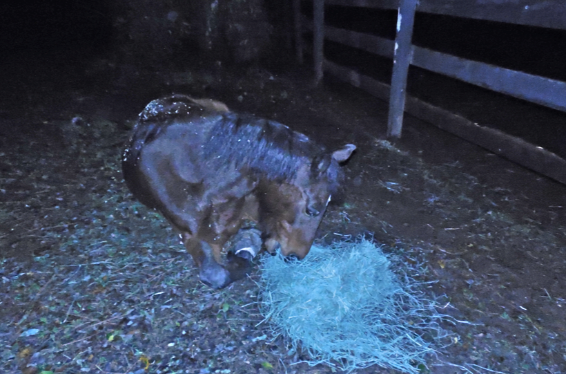 I couldn't help myself... I gave her a handful of hay to round out her lovely evening.  She was happy.