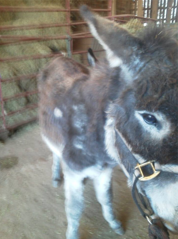 This is Arnold, the donkey in his intake photo.  His friend didn't survive the first night... Arnold has difficulty standing. He is very weak.