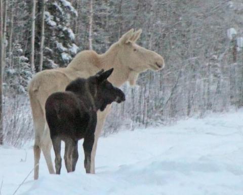 White moose - rare