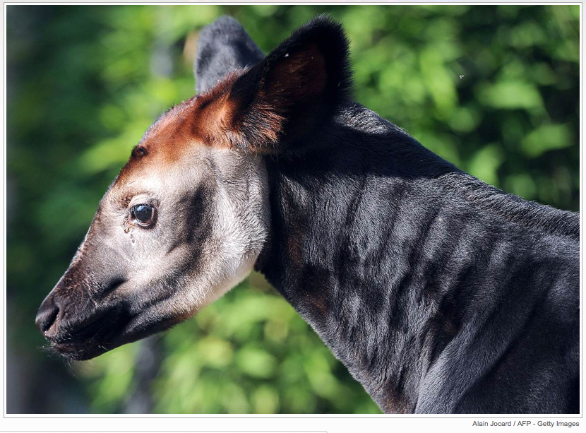 A baby okapi named Mbuti soaks up the sun on July 12 in its enclosure at the Beauval Zoo in Saint-Aignan, France.