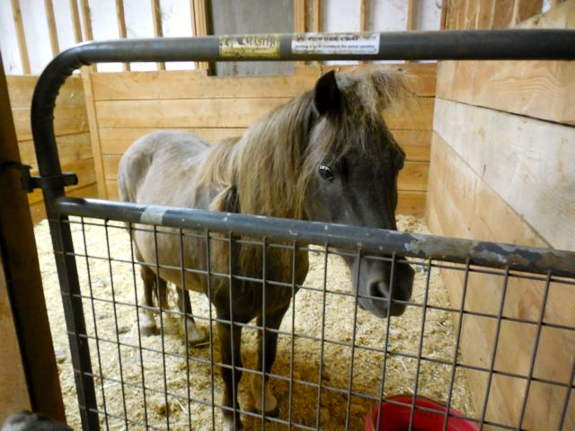 Dodger in the stall, clearly buggy eyed and in pain.  I put his mane and forelock in silly bands because he was hot.