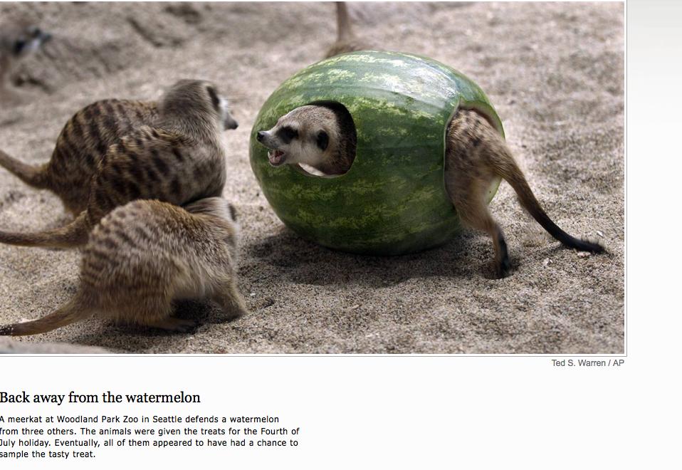 Funny meerkat pictures - photo#21