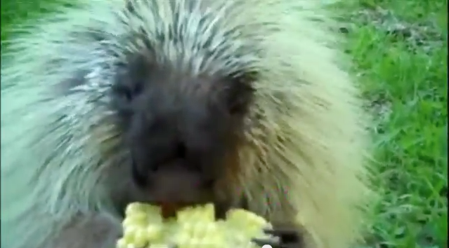 For those of you who need a smile today, I'm reposting Teddy, the talking porcupine.  Every single time I see this, I laugh.  Click image.