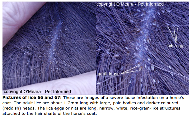 yeech! is it lice or dandruff: how to diagnose equine lice and get, Skeleton