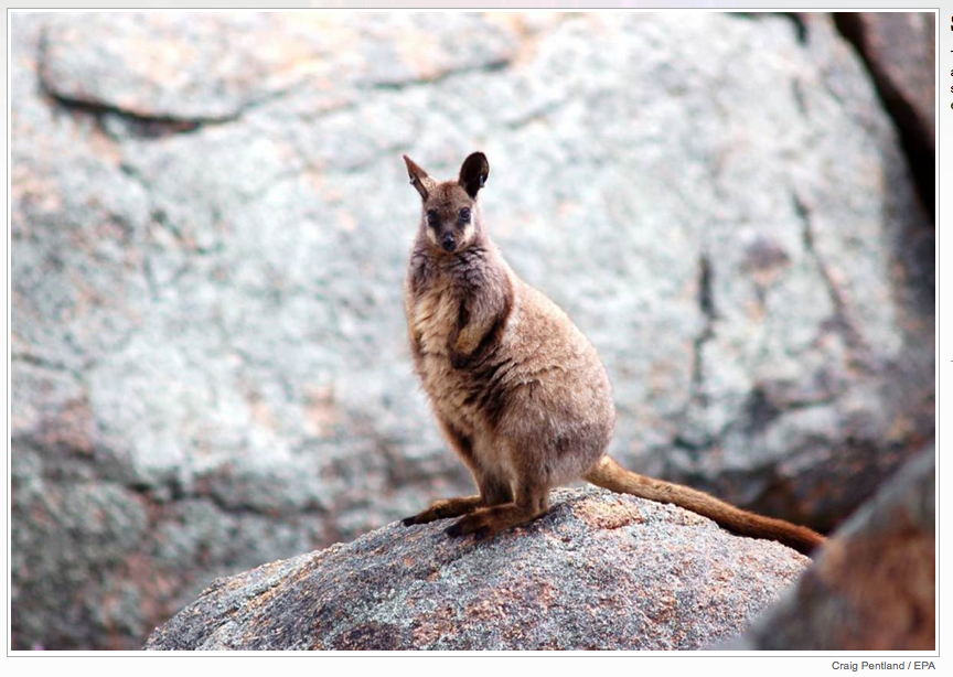 This black-flanked rock wallaby sits in a brand new sanctuary at the Nangeen Hill Nature Reserve in Western Australia. The sanctuary was built in an attempt to save the species from extinction.