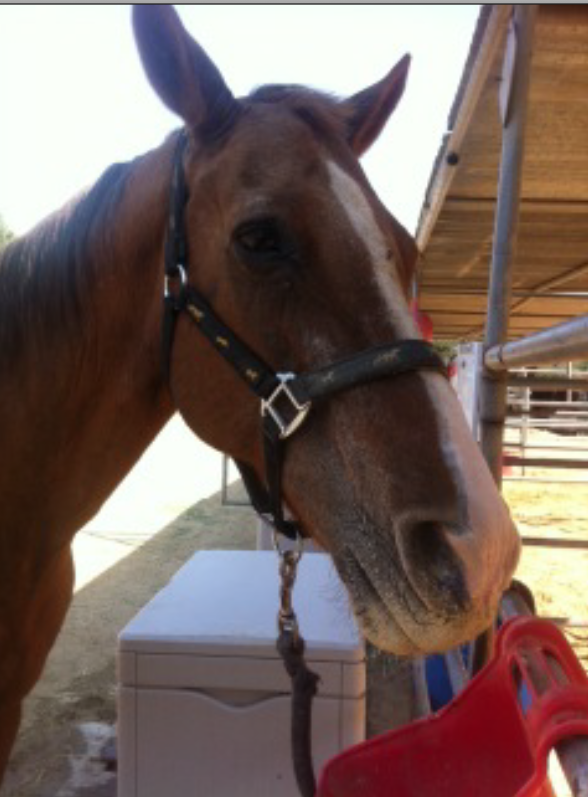 Handsome Buster!  An active, working  horse at 42+!  He needs sponsors. JUNE BUCKET FUND!   CLICK HERE!