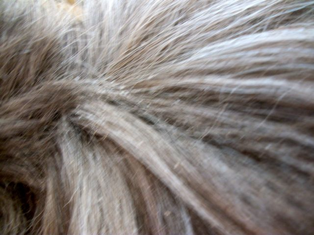 Yeech is it lice or dandruff how to diagnose equine lice and get lice or dandruff ccuart Images