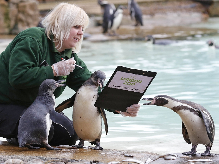 She was taking a census of the penguins... cute!