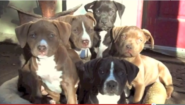These are Rosie's puppies.  So dang cute!  I inquired about them and had no response even with the support of Rosie's rescuer and Rosie's foster home. Hmmmm.  Click to watch a video of Rosie's pups!