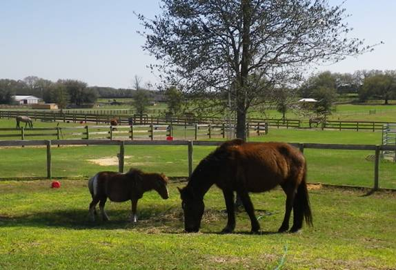 The two pregnant mares, finally rescued and grazing together
